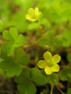 Yellow wood sorrel 08.07.13
