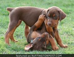 The Doberman Pinscher is among the most popular breed of dogs in the world. Known for its intelligence and loyalty, the Pinscher is both a police- favorite Perro Doberman Pinscher, Cute Puppies, Dogs And Puppies, Doggies, Doberman Puppies For Sale, Pitbull, Black And Tan Terrier, Doberman Love, Brown Doberman
