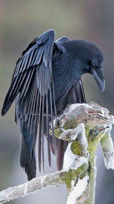 and now roooolllll your shoulders forward four times. Crow Art, Bird Art, Beautiful Birds, Animals Beautiful, Corvo Tattoo, Rabe Tattoo, Animals And Pets, Cute Animals, Raven Bird