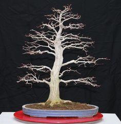 ERABLE rouge du Japon de plus de 45 ans Bonsai de 73-75 cm de hauteur - Japon -