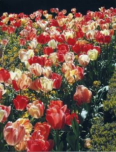 The tulips at Filoli last week were absolutely stunning