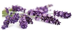 lavender essential oil for anxiety natural relief