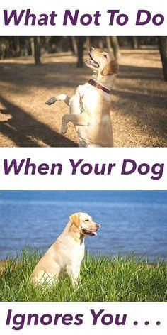 We have all had that sinking feeling. You call your dog, you know he has heard you, and he totally ignores you. You know you need to do something straight away or the habit of ignoring you will get worse. What is the best reaction Training Your Puppy, Dog Training Tips, Training Classes, Potty Training, Training Pads, Training Videos, Agility Training, Pitbull Training, Training Academy