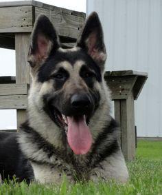 Beautiful mama large black and silver german shepherd with eye circles from Royalair.org