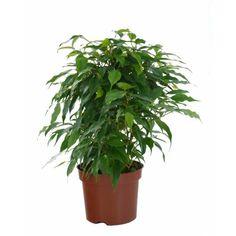 Ficus benjamina 'Danielle' - C12
