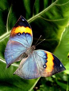 Kallima inachus Leaf wing butterfly.