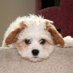 www.cavachon.org - The new Cavachon online community for serious Cavachon owners and fans.
