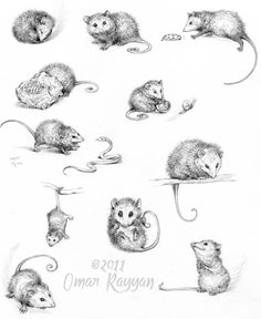 drawings of possums - Google Search