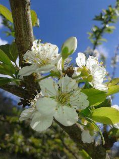 Flor de manzano ll.