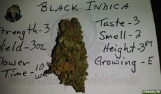 Buy OG Kush is an American marijuana classic, a Southern California original with some of the highest THC levels in the world. With a sativa/indica. Cannabis Vape, Cannabis Seeds Online, Cannabis Seeds For Sale, Cannabis Plant, Medical Cannabis, Growing Marijuana Indoor, Cannabis Growing, Autoflowering Seeds