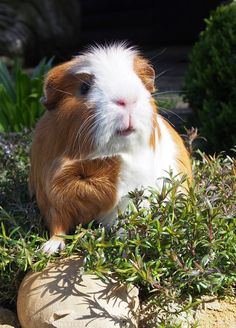 The Guinea Pig Daily: Pixie