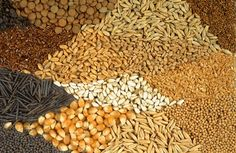 The GMO Seed Monopoly