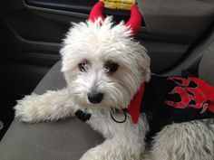 Halloween Beautiful Dogs, Chinese, Halloween, Animals, Cute Dogs, Animales, Animaux, Halloween Stuff, Animal