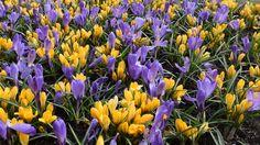 Crocuses flowers footage. Beautiful lawn with purple and yellow crocuses flowers.