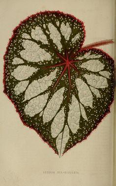 Botanical - Floral World and Garden Guide 1876 - Begonia leaf Botanical Flowers, Botanical Illustration, Botanical Prints, Begonia, Container Gardening, Gardening Tips, Bamboo Landscape, Bamboo Leaves, Paper Leaves