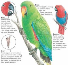 Eclectus Parrot Facts.