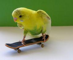 Budgie on skateboard.