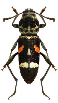 Mecometopus aurantisignatus