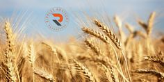 Ripples Commodity Blog: Government May Raise Import Duty On Wheat - Equity...