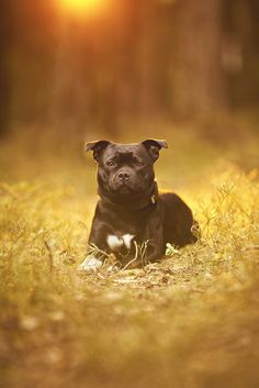 Spredningen av Corona er mer under kontroll. Men vi skal fortsatt være forsiktige. Jeg kommer derfor til å ha mest fokus på fotografering utendørs i tiden fremover. Og med den våren vi har nå så er ikke det så ille akkurat. Vi har vært bortskjemt med godt vær i lang tid og forhåpentligvis fortsetter  #hund #hundefotograf #staffordshirebullterrier Staffordshire Bull Terrier, Family Dogs, Panther, Pitbulls, Studio, Fine Art, Animals, Nature, Animales