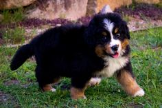 Bernese Swagger - 8 wk old Moses