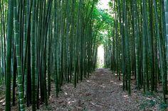 Turismo Green  La foresta di Bambù gigante Onlymoso è uno degli spettacoli della natura più pittoreschi.  In un bambuseto è possibile realizzarre vari sentieri immersi in una vegetazione molto fitta formata dalle canne di bambù che possono raggiungere i 15 cm di diametro e i 25 mt di altezza.  Si crea così un ambiente molto rilassante e rigenerante e la luce filtrata dalle foglie genera spettacoli di luce differenti durante tutta la giornata in base all'intensità e alla posizione del sole…
