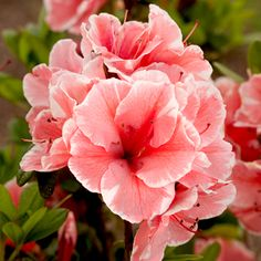 Encore Azalea Sunburst! Blooms 3 times a year Spring Summer and Fall!