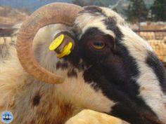 Urlaubsreise Reisehinweise Griechenland Corona Maßnahmen Griechenland – COVID-19 Regeln auf Kreta, Griechenland 2021 Goats, Animals, October, Animales, Animaux, Animal, Animais, Goat