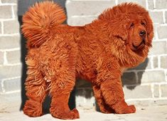 red-tibetain-dogue