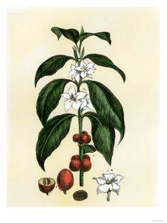 Coffee Tree Leaves, Flowers, and Fruit Giclee Print