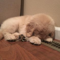 This special puppy golden retriever will make you happy. Dogs are incredible creatures. Cute Dogs And Puppies, I Love Dogs, Doggies, Lab Puppies, Husky Puppy, Perros Golden Retriever, Golden Retrievers, Cute Baby Animals, Animals And Pets