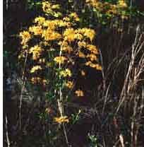 MS native - Yellow Native Azalea  This magnificent deciduous shrub grows to twelve feet in height and eight feet wide.