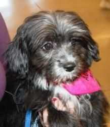 Petfinder Adopted Dog | Havanese | Osseo, MN | Libby