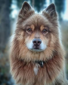 Finnish Lapphund, another reindeer-dog