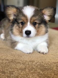 Agent Cooper (he's a little older now though) : corgi Super Cute Puppies, Cute Dogs And Puppies, Baby Dogs, Doggies, Corgi Dog Breed, Pembroke Welsh Corgi Puppies, Dog Breeds, Happy Animals, Cute Baby Animals