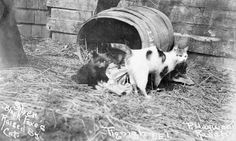 Silver black foxes raised by cat. Tignish, Prince Edward Island, 1914. Source: Library and Archives Canada.