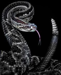 Rattled by Paul Keates | Rattlesnakes are considered to be the newest or most recently evolved snakes in the world. They have either a rattle or a partial rattle made of interlocking rings, or segments of keratin, the same material our fingernails are made of. When vibrated, the rattle creates a hissing sound that warns off potential predators.
