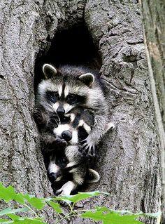 Raccoon Family - Pixdaus
