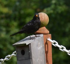 Cheeky male blackbird.