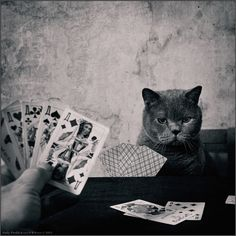 HELPFUL ANIMALS---Cat Card Shark..... LiLu, Blue Royal Lady, photography by Andy Prokh: