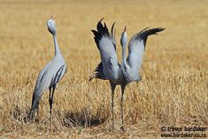 "DANCING CRANES  Trevor Hardaker - wildlife enthusiast and photographer: ""The blue crane is South Africa's National Bird. They have elaborate mating rituals which includes a lot of calling, wing raising and even dancing."" - Darling Hills, Western Cape, South Africa via Frans de Waal - Public Page FB"
