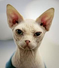 Sphynx by Queen of them all Crazy Cat Lady, Crazy Cats, Sphinx Cat, Devon Rex, Funny Animal Pictures, Cat Breeds, Cats And Kittens, Cute Animals, Pets