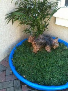 ♥ DIY Dog Stuff ♥ made this doggy potty island out of kiddie swimming pool, palm & 3 pallets of sod for doggys with limited yard opportunities! Patio Ideas For Dogs, Fence Ideas, Diy Fence, Diy Pour Chien, Dog Rooms, Dog Houses, Diy Stuffed Animals, Dog Life, Yorkie