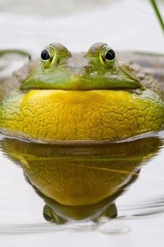 Croaking Bullfrog and Water Vibrations. by Daniel Cadieux on 500px