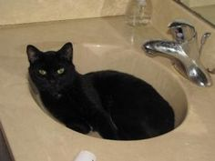 Sir William is an adoptable Domestic Short Hair-Black Cat in Saint Paul, MN. For more information about Sir William, call 651-705-6264. Im a sweet loving kitty who will fit into any home with or with...
