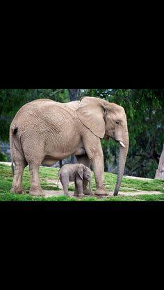 Mumma elephant and baby elephant