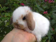 Mini Holland Lop Dwarf Bunny Rabbits for Sale The Animals, Cute Little Animals, Fluffy Animals, Cute Funny Animals, Cute Bunny Pictures, Baby Animals Pictures, Cute Animal Photos, Animal Fun, Mini Lop Bunnies