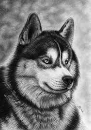 Image result for Siberian Husky draw pencil