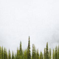 Sub Alpine Fir Fog <br> Mt Sale BC <br>Archival Fine Art Chromogenic Print