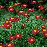 Burpee Flower Chrysanthemum Robinson Red 43051D (Red) 25 Seeds David's Garden Seeds http://www.amazon.com/dp/B00HBYFDV4/ref=cm_sw_r_pi_dp_Gwnkub1NMTMJW